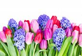 stock photo of bosoms  - blue hyacinth and  tulips border   isolated on white background - JPG