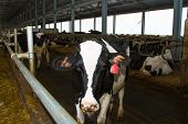 stock photo of dairy barn  - Holstein dairy cows are fed in a farm - JPG