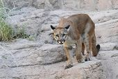 picture of cougar  - Mountain Lion  - JPG