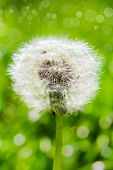 White Dandelion On A Green Background With Bokeh