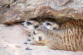 pic of meerkats  - group of meerkat  - JPG