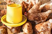 stock photo of avian flu  - feeding hen or chicken group at hen house farmyard - JPG
