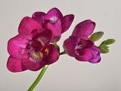 Pink freesia flower with water drops, isolated