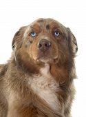 image of australian shepherd  - australian shepherd in front of white background - JPG