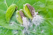 image of biodiversity  - Calotropis Gigantea of Crown pod seeds and flowers on thier leaf background - JPG