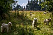 Polish Tatra Sheepdogs