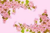 Cherry Blossoms .
