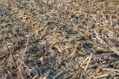 stock photo of corn stalk  - Field with empty corn cobs stalks and leaves left after harvest - JPG