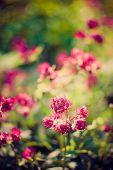 Blooming Astrantia