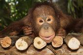 pic of orangutan  - young orangutan smile on the branch  - JPG