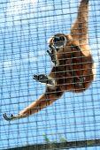 Swinging Gibbon