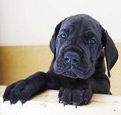 Black Great Dane Puppy