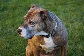 Sad Brown Dog