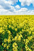 picture of rape  - Green Field Blue Sky - JPG
