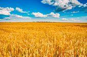wheat field, fresh crop of wheat