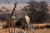 Giraffe geben die Zunge