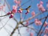 Twigs with pink cherry blossoms