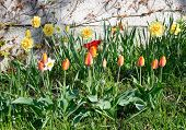 Flowerbed with spring tulips