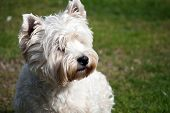 image of westie  - A West Highland White Terrier also known as a Westie in the garden - JPG