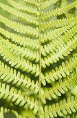 stock photo of fern  - Green Fern Leaf in a sunny day closeup - JPG
