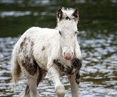 picture of pony  - Pony in River - JPG