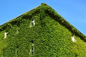 foto of house-plant  - Urban house with walls covered with natural green plants - JPG