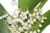picture of white lily  - Lily of the Valley isolated on white - JPG