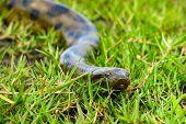 stock photo of pampas grass  - Green anaconda  - JPG