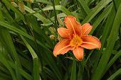 image of day-lilies  - Big orange day - JPG