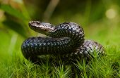 picture of european  - Common Viper prepares for a throw - JPG