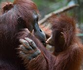 pic of orangutan  - A female of the orangutan with a cub in a native habitat - JPG