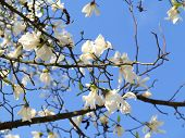 pic of magnolia  - Authentic landscape magnolia flowers against the sky backlit as a backdrop for the staging of promotional songs and text - JPG