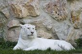 picture of white-tiger  - White tiger lying in the grass in front of a stone wall - JPG