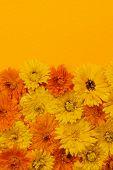 stock photo of marigold  - Fresh medicinal calendula or marigold flowers arranged on orange background with copy space - JPG