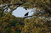 Bald American Eagle