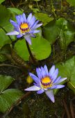 image of monocots  - Blue waterlily flower Latin name Nymphaea sp - JPG