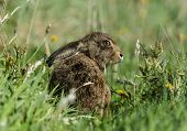 foto of hare  - A Brown Hare sitting in the grass - JPG
