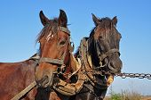Two horses in a team