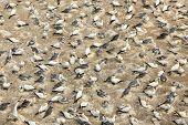 picture of gannet  - Colony of gannets nesting on the seashore - JPG