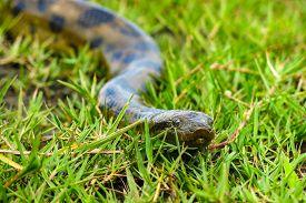 stock photo of pampa  - Green anaconda  - JPG