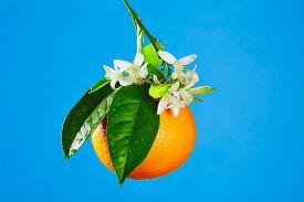 pic of valencia-orange  - Oranges with orange blossom flowers in spring on blue background - JPG
