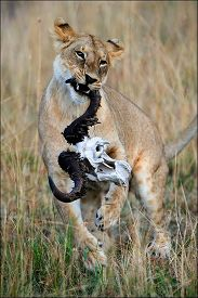 picture of female buffalo  - The young lioness plays with a skull of a buffalo - JPG