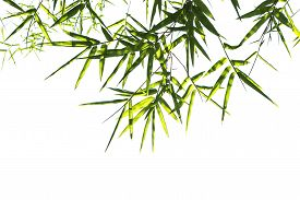 pic of bamboo leaves  - green bamboo leaves isolated on white background - JPG