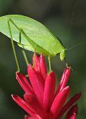 Green Katydid Grasshopper On Purple Flower, Pico Bonito, Honduras