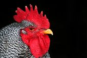 Barred Rock Rooster