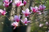 foto of japanese magnolia  - Beautiful spring blooms on a japanese magnolia - JPG