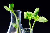 Green Sunflower Plant Sprouts Isolated