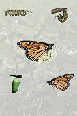 Monarch Compilation With Milkweed