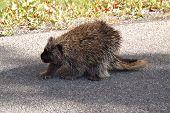 North Amer Porcupine14