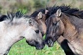 Conspiring wild horses in a field
